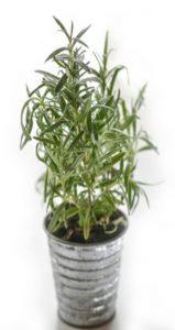 Rosemary Plant insert