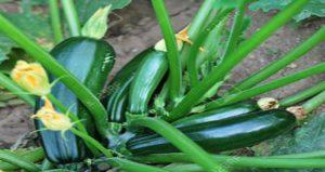 Zucchini image source: 1234RF.com