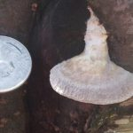 A quarter gives idication of the size of conk style white mushroom found on living tree.