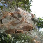 Close up of hickory leaves and stems encased in fall webworm web.