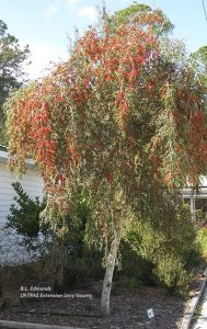 tree with weeping habit with red berries
