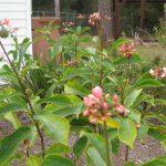 three flowering shrubs provide bright pink bloom