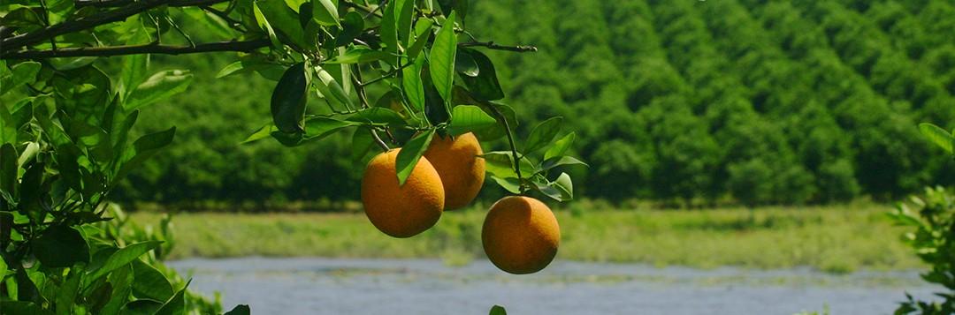 citrus groves, florida, oranges, leaves, trees. UF/IFAS Photo: Thomas Wright.