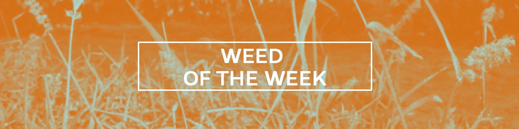 Weed of the Week