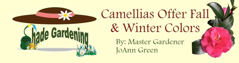 Shady Gardening Camellias November 2019