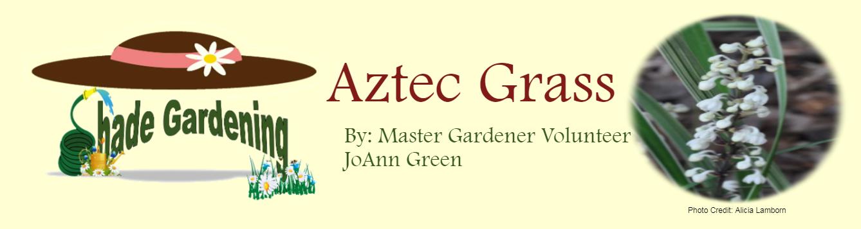 Aztec Grass June 2020