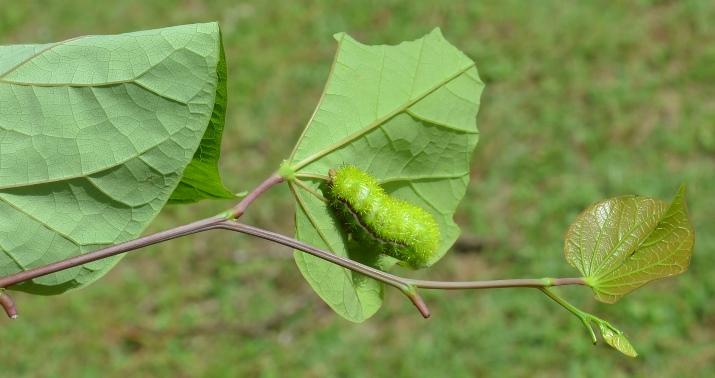 Lo Caterpillars