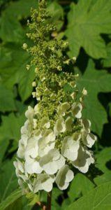 Hydrangea quercifolia Image by leoleobobeo on Pixabay