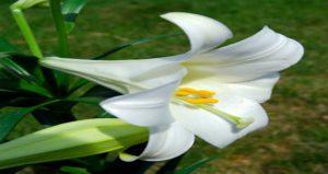 Easter Lily (Lilium longiflorum) Image: Wikipedia
