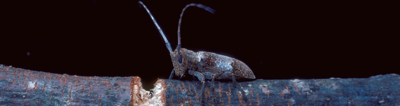Picture of a twig girdler beetle.