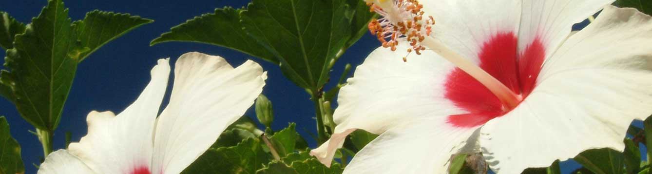 Picture of hibiscus blooms