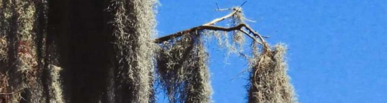 Spanish moss hanging in a tree