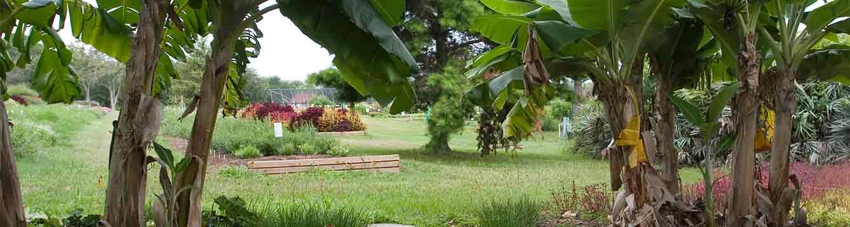 Banana plants among trees