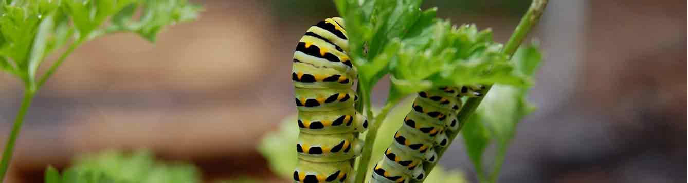 Caterpillar feeding on parsley
