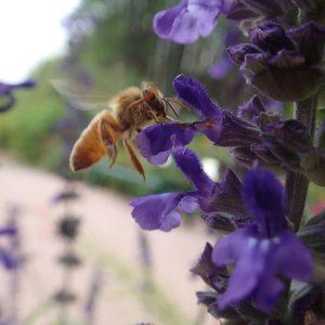 A foraging Honey bee hovers around an 'Indigo Spires' Salvia