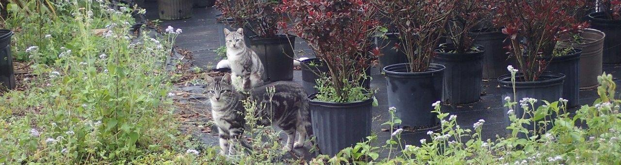 Two grey tabby feral cats slip through some potted plants at an ornamental nursery