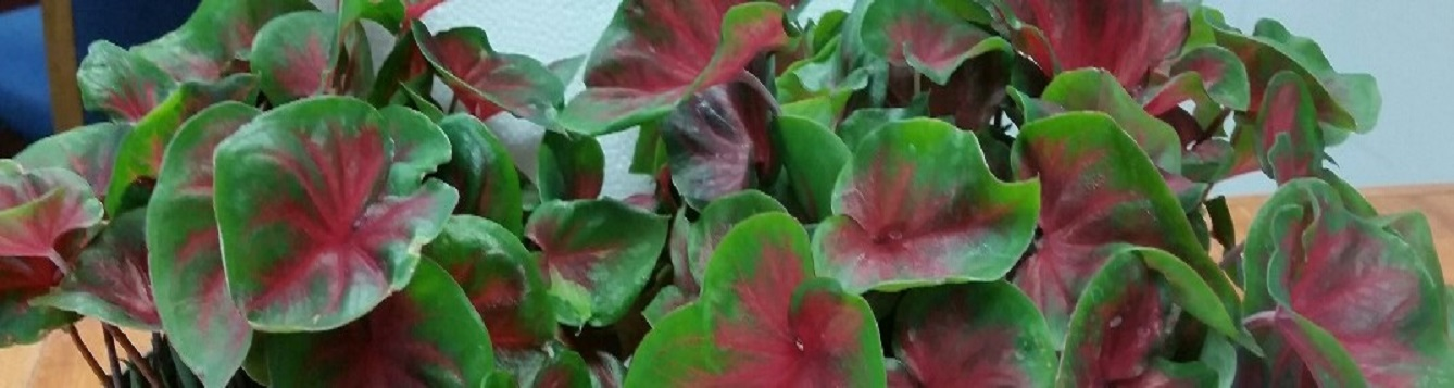 Close-up of red and green caladium foliage.