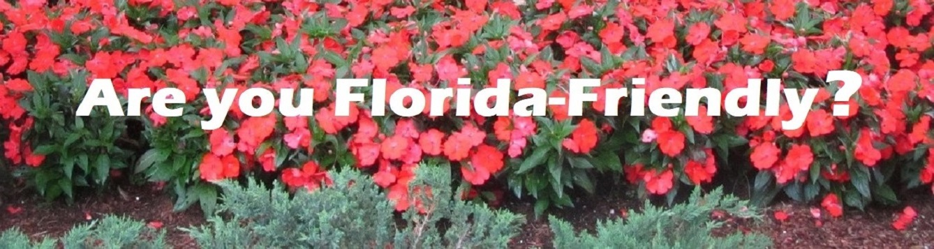 Beautiful Florida-Friendly salmon colored New guinea Impatiens contrast with blueish hued junipers in the foreground.