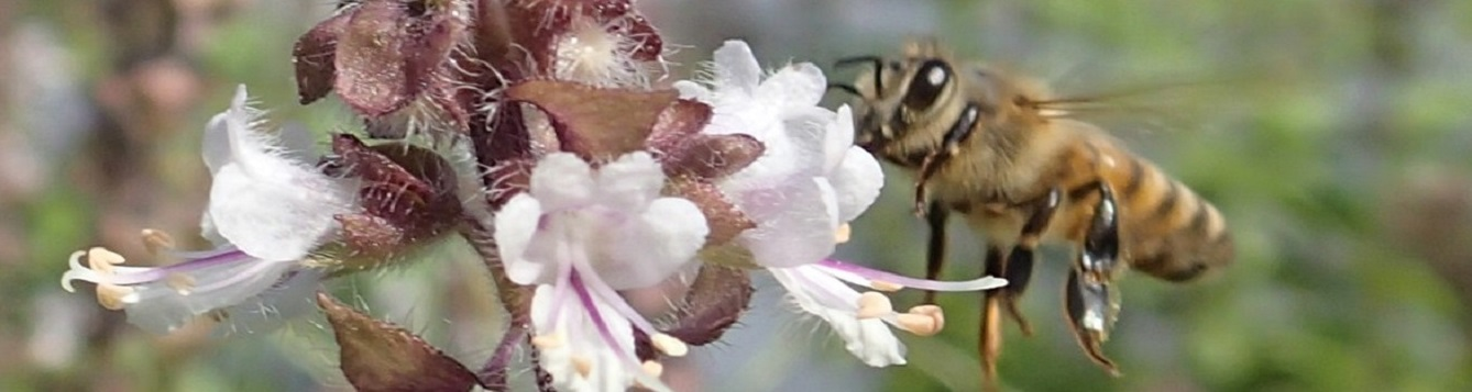 Worker Honey bee feeds on pink salvia flower