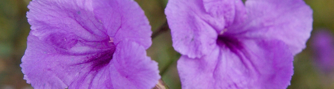 Closeup of two Ruellia flowers UF/IFAS Photo: Tyler Jones.