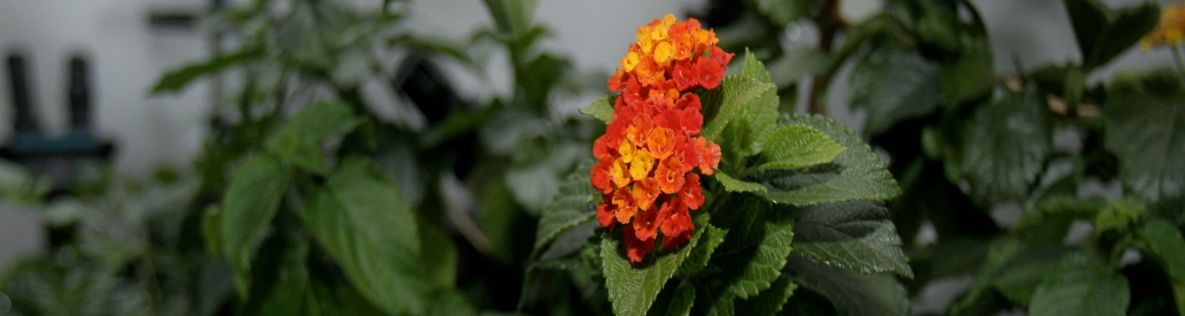 Close up of lab grown Orange Lantana Flower