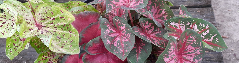 A line up of Multicolored Caladium leaves