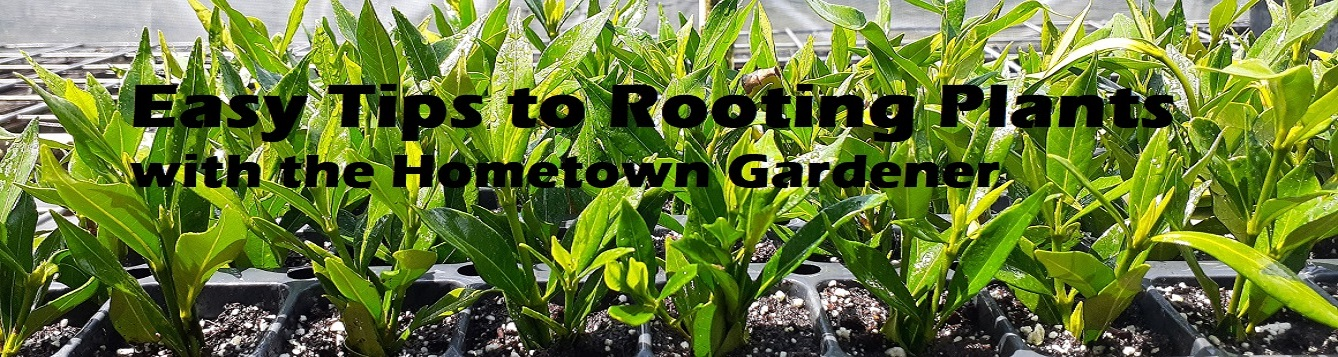 Easy tips to rooting plants with the Hometown Gardener