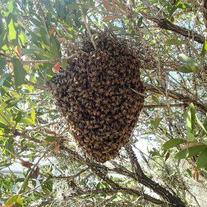 A honey bee swarm were worker bees mak a ball around their queen in a Lemon Bottlebrush bush
