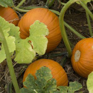 Pumpkins in a pumpkin patch. Photo taken 10-3-15
