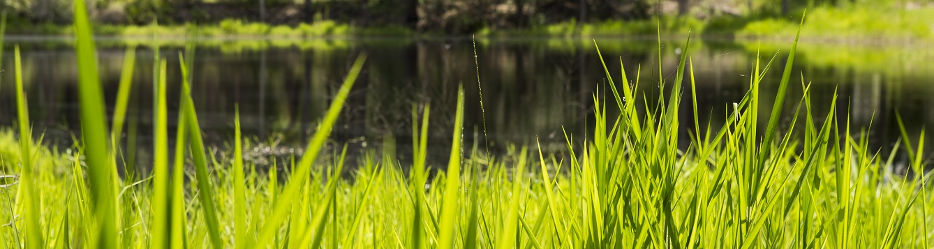 Grass on the banks of Lake Mize at the Austin Cary Memorial Forest.