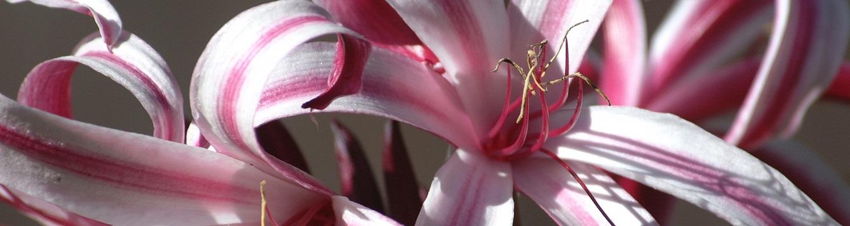 Crinum lily flowrs