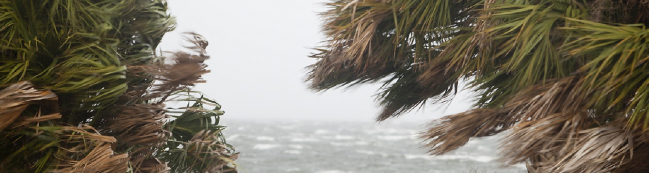 Wind & Sabal palmetto in advance of a storm