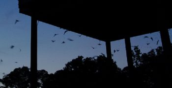 bats emerging from the UF bat house at dusk