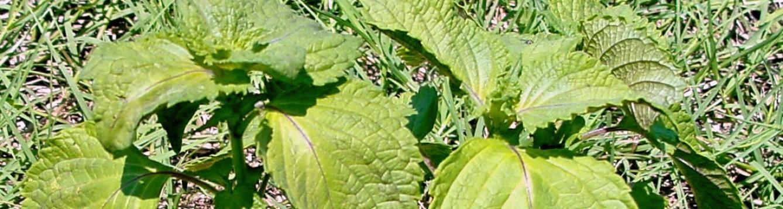 perilla mint