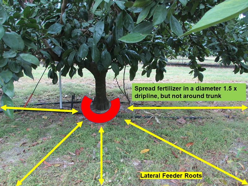 Citrus Tree Fertilization diagram