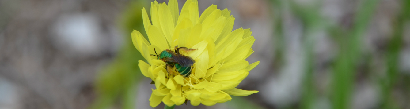 Nectar is a major source for the mature insects.