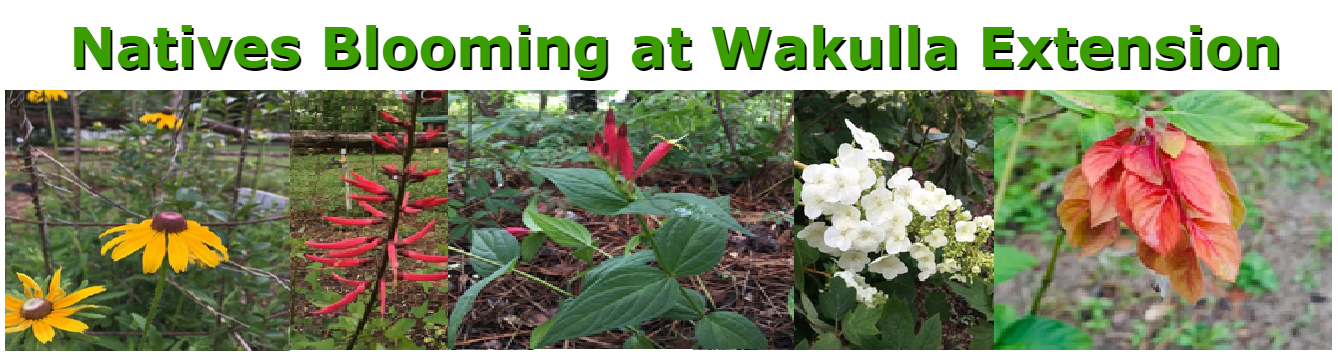Natives Blooming at Wakulla Extension