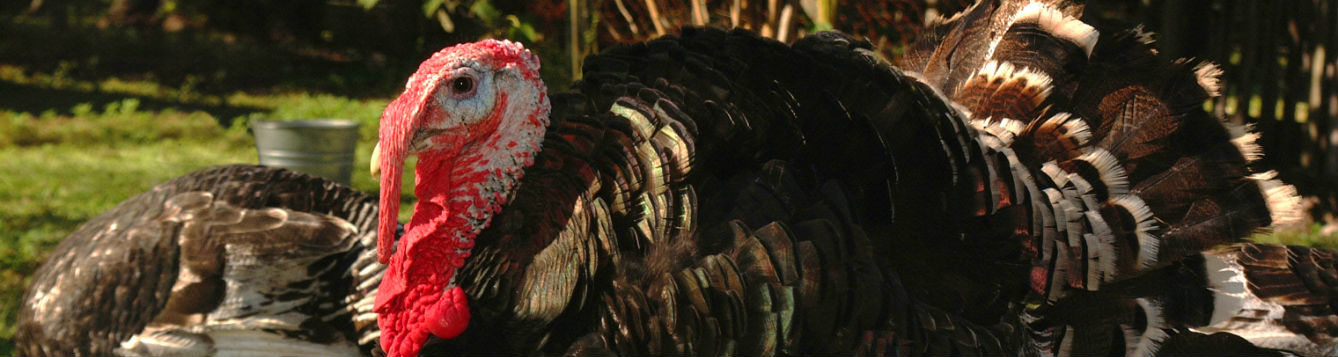 photo of a tom turkey