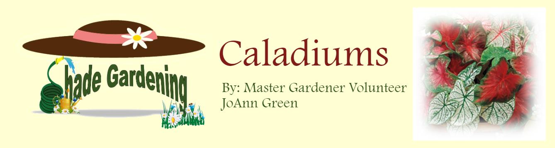 Shady Garden Caladiums May 2020