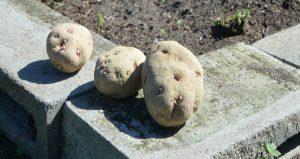 In the Garden Feb 2019 potatoes insert