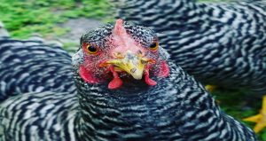 chickens insert