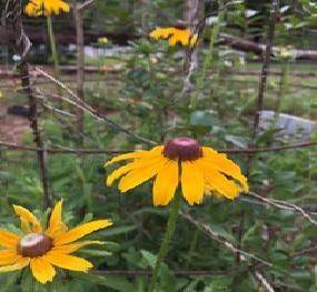 Brown-Eyed Susan (Rudbeckia hirta L.)