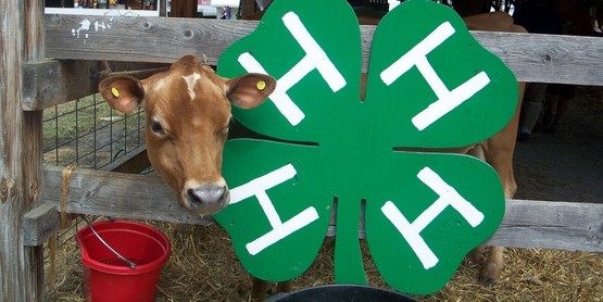 calf's head poling out beside a wooden 4-h clover