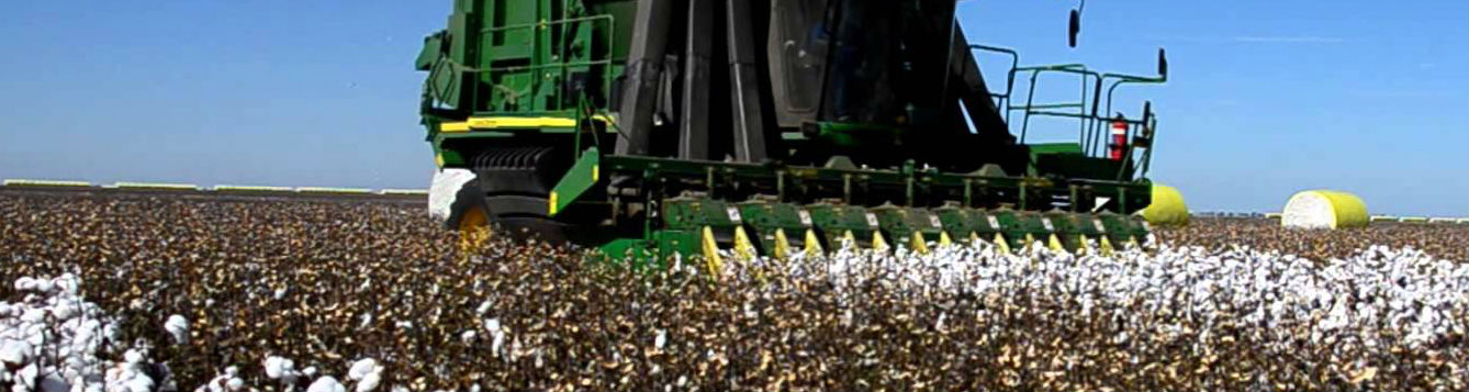 Cotton bein harvested