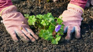 planting a flower in tilled soil