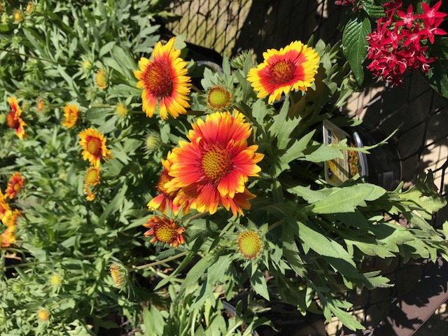 'Mesa Bright' blanket flower is easily found at local retail garden centers. This annual provides a profusion of attention demanding red and yellow blooms throughout its growing season.