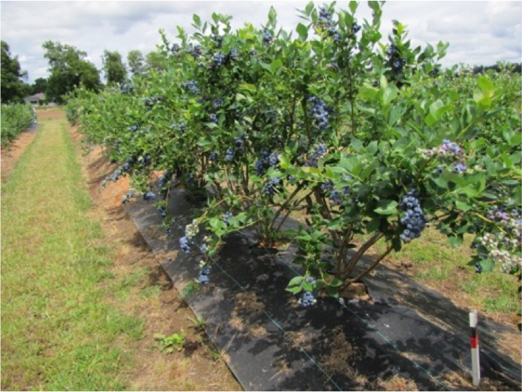 These blueberries are being grown with weedmat to control weeds.