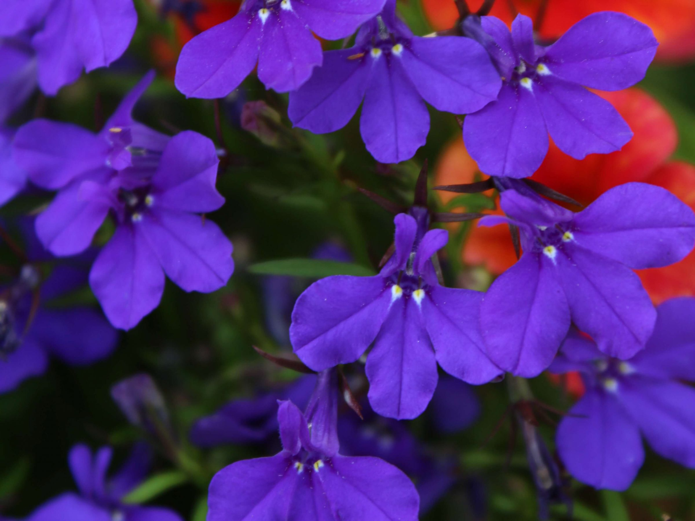 Lobelia is an underutilized annual found in snowy white or an electric blue.