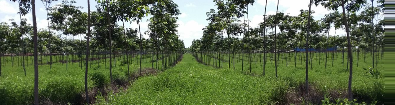 A cover crop in this rubber plantation provides nitrogen to the crop plants.