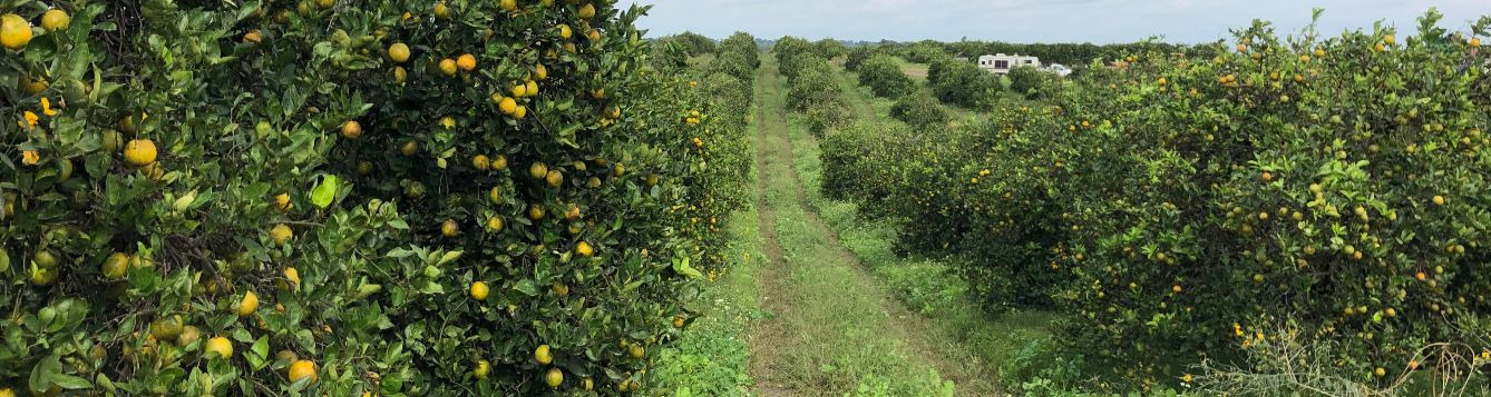 View down a row at Ed James' citrus grove with intensive cover crop use